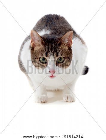 Beautiful adult cat crouching isolated on a white background