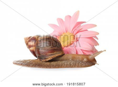 Giant Achatina snail and flower on white background