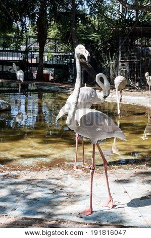 Big and beautiful bird Rose flamingo in a zoo