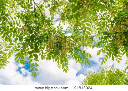 Spring blossom tree canopy against blue sky with clouds summer nature background.