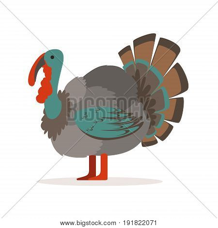 Turkey bird, poultry farming vector Illustration isolated on a white background