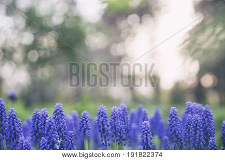 Muscari Blue Flowers (murine Hyacinth)
