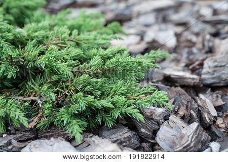 Element of landscape design closeup. Juniper in the background of a tree bark.