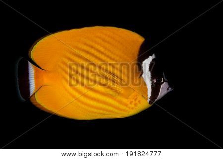 Weible's Butterflyfish (Chaetodontidae weibeli) fish in the coral reef