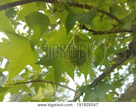 spiky gum ball in tree with green leaves