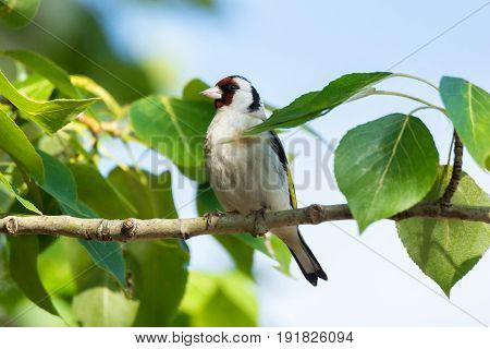 The photograph shows a goldfinch on a branch