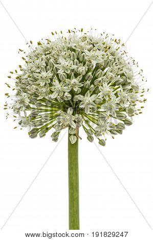 Flower head of edible onion lat. Allium cepa isolated on white background