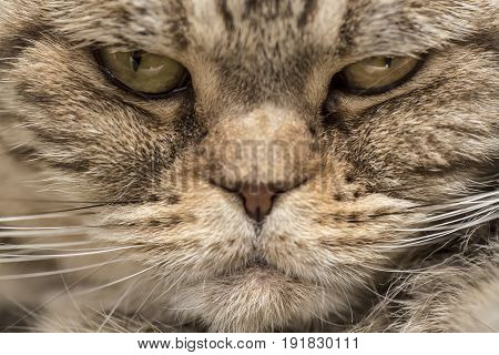 Scottish Fold cat with an angry look. Close-up.