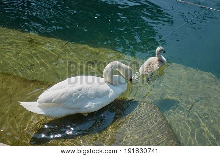 swan with his duckling swimming on lake
