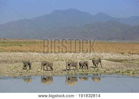A herd of asiatic elephants and their reflection with hills at background