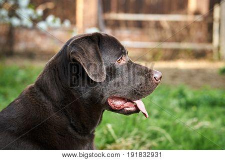 A dog labrador, a dog walks, a labrador stuck out his tongue.