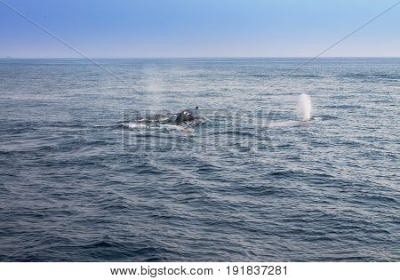 Whale blowing in Atlantic ocean. Picture taken from whale watching cruise in Gloucester. USA