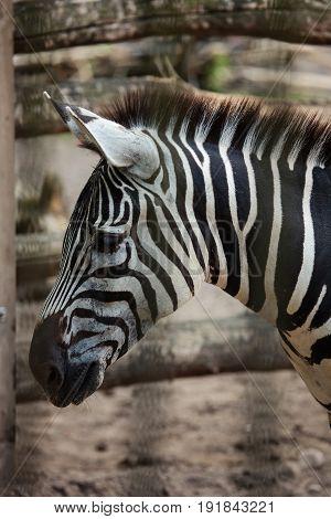 Zebra Close Up Portrait In A Zoo