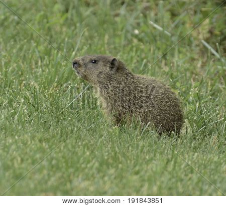 A Groundhog (Marmota monax) surveying its surroundings in a field in Frederick Maryland, USA.