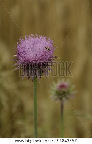 A Thistle (Silybum marianum) flower in bloom, with a bee gathering nectar and pollen, in a field in Taneytown, Maryland, USA.