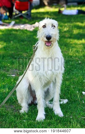 The portrait of beautiful white Irish wolfhound dog