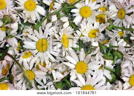 A closeup full frame of chamomile flowerheads for further herbal processing.