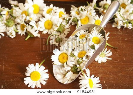 Closeup view of a scoop measuring fresh chamomile for further herbal processing.
