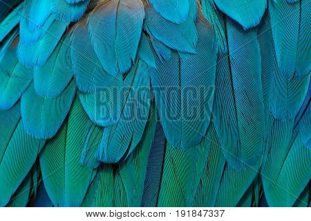 Detail of a feather parrot Blue-and-yellow. Parrot-like multicoloured