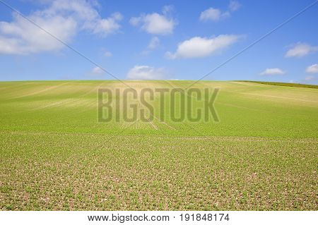 Pea Crop And Blue Sky