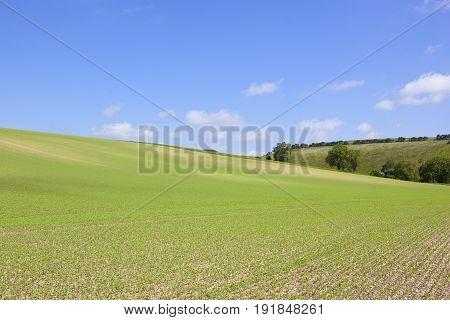 Hillside Pea Crop