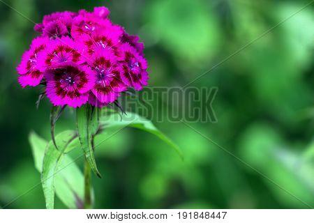 Purple Cloves Turkish in the garden. Dianthus barbatus