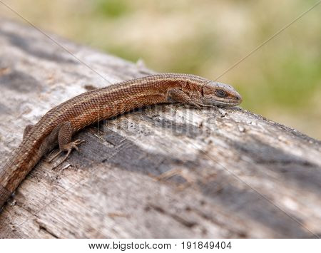 Lizard sleeping on old log in nature with shallow depth of field