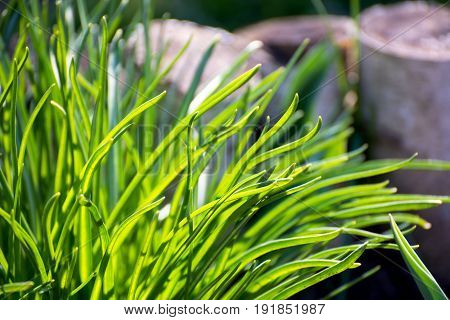 Bright vibrant green grass close-up against the sun