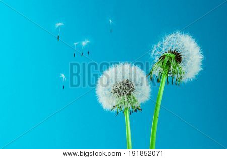 Dandelion seeds on colorful background. card, cover and deco