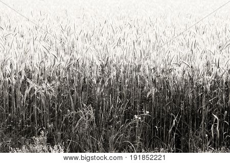 Field of wheat crop in black and white