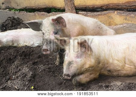 shot of dirty pigs lying in the mud