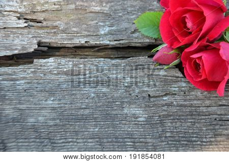Burgundy roses and Bud on old wood with a crack field in the upper right corner