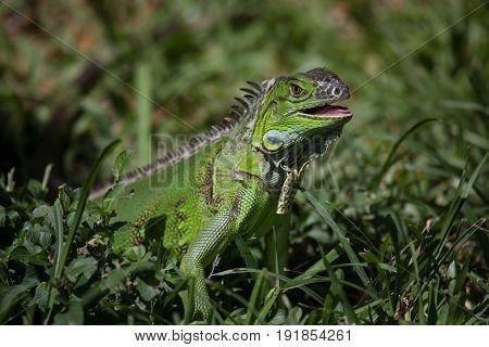 Green Iguana (iguana Iguana) I
