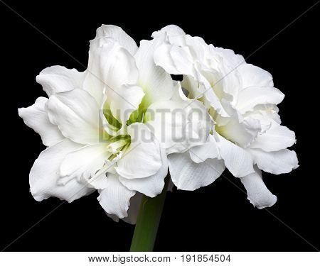 White-lemon Amaryllis (Hippeastrum) double flowering Alfresco isolated on the black background
