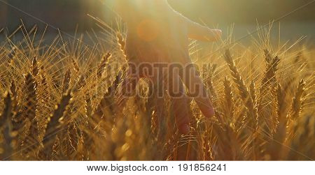 Hand Woman, Caressing Wheat In A Field