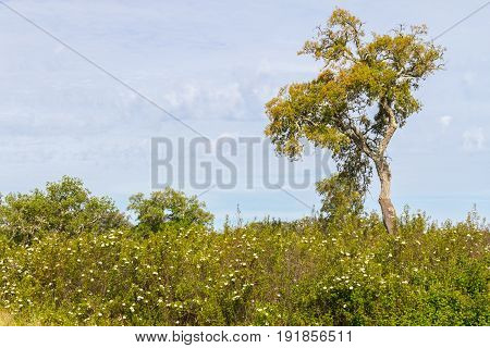 Trail With Cork Tree Forest And Esteva Flowers In Vale Seco, Santiago Do Cacem