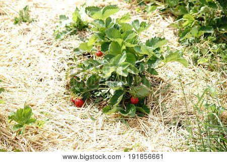 The top view of a strawberry plant with red and ripe strawberries.