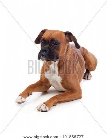 Beautiful boxer dog isolated on a white background