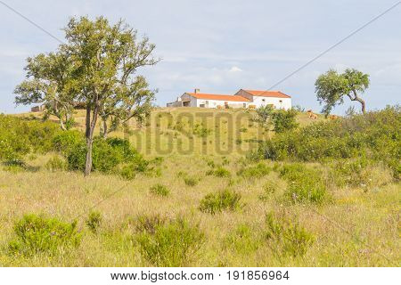 Farm House With Cow, Cork Tree Forest And Esteva Flowers In Vale Seco, Santiago Do Cacem