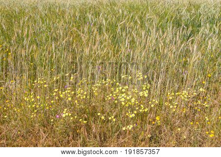 Wheat Plantation And Wild Flowers In Vale Seco, Santiago Do Cacem