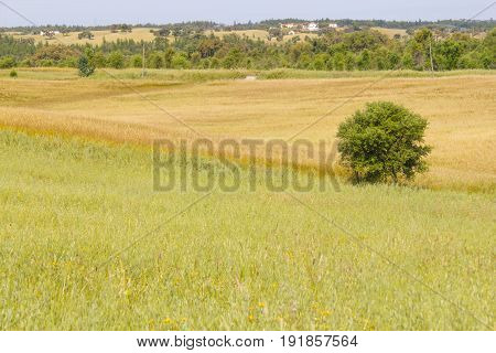 Farm Field With  Wheal Plantation And Trees In Vale Seco, Santiago Do Cacem