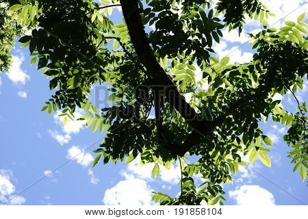 The canopy and the treetop of a nut tree Juglans cinerea against clouds on the blue sky.