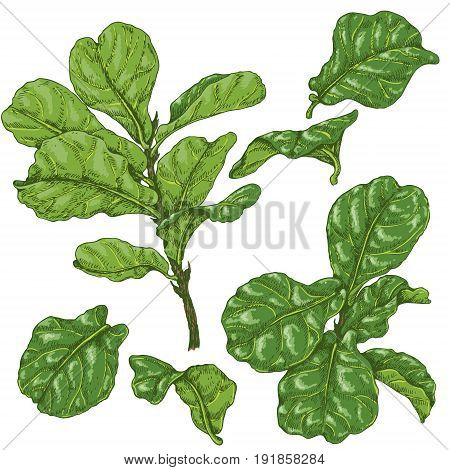 Hand drawn branches and leaves of tropical plants. Green ficus lyre isolated on white. Vector sketch.