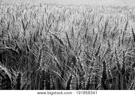 Detail of a wheat field black and white