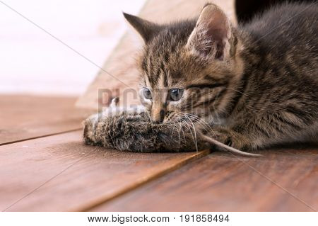 Kitten has caught the mouse and plays.
