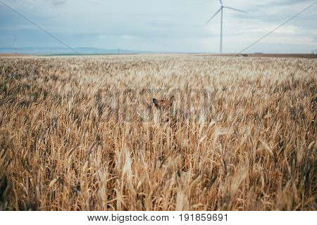 Basenji breed dog hides in field of yellow wheat exploring world around and playing with owner