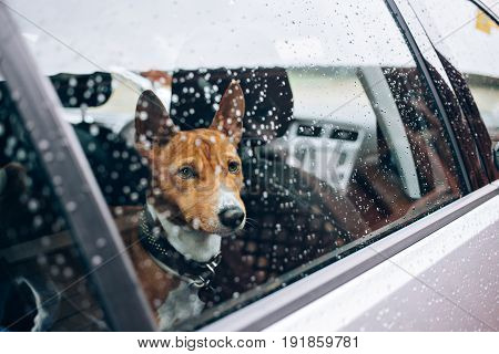 Close up with selective focus of lonely emotional basenji breed puppy patiently waiting for his owner inside car with rain drops on window