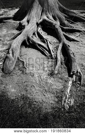 Ancient old tree roots jutting out in open air death plant growth
