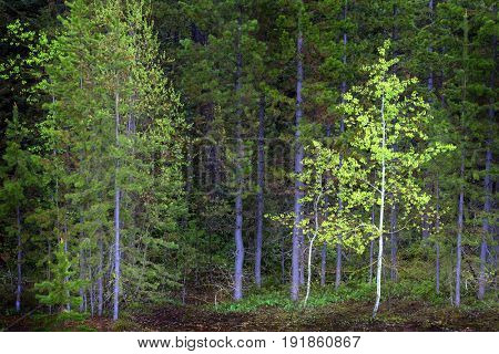 Pine forest trees in mountains and wilderness