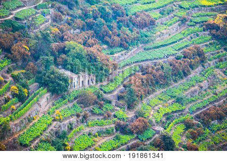 Vineyards on the slopes of the Cinque Terre Reserve, in Italy